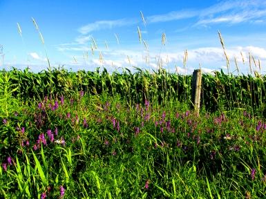 Cornfields, Sky, Purple Loosesrife - Innisfil, Ontario, Canada July 2014. (SM CADMAN)